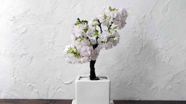 室内で桜の開花が毎年楽しめる!今すぐ買いたい「桜の盆栽」
